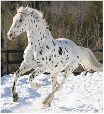 paard appaloosa - Google zoeken