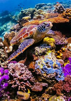 Green Sea Turtle sitting on a colorful coral reef underwater in the ocean by Soren Egeberg Photography, via Shutterstock Under The Water, Under The Ocean, Beautiful Creatures, Animals Beautiful, Fauna Marina, Underwater Life, Galapagos Islands, Tier Fotos, Sea And Ocean