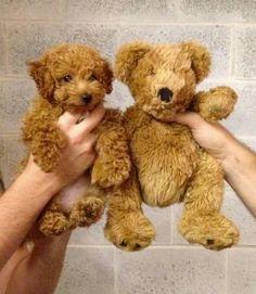Golden doodle vs teddy bear!!!