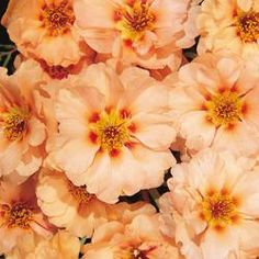 Ground-cover chrysanthemum seeds, chrysanthemum perennial bonsai flower seeds daisy potted plant for home garden Portulaca Flowers, Portulaca Grandiflora, Flowers Perennials, Rose Like Flowers, Orange Flowers, Blooming Flowers, Spring Hill Nursery, Bonsai Seeds, Annual Flowers