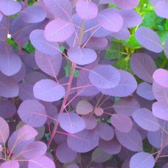 """Cotinus coggygria 'Royal Purple' (Smoke tree, Venetian sumac)  Smoke bush - this is a wonderful bush for the garden. The blooms are very airy, thus the name """"smoke"""" bush. Also changes colors with the seasons"""