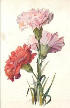 Dianthus Carnations