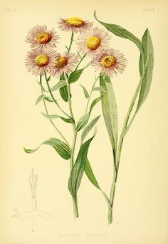 Showy Erigeron by the snail and the cyclops, via Flickr