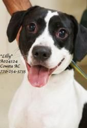 """B-1  Rescued!                                   Breed:     Pointer Mix  Sex:         Female  Age:         Young (Approx. 6 Months)  Size:        Medium  Weight:     ID:           A024124  Shelter Name:  """"Lilly""""  Vaccinated ~~~ http://www.shelterrescueinc.org/id5.html"""