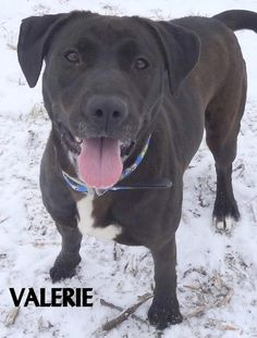 ADOPTED! Tag ? Name is Valerie Labrador Mix Female-unsure of spay Approx. 2 years old Gorgeous and sweet girl! Full of energy, loves to play, fun!  Located at 2396 W Genesee Street, Lapeer, Mi. For more information please call 810-667-0236. Adoption hrs M-F 9:30-12:00 & 12:30-4:15, Weds 9:30-12:00 & Sat 9:00-2:00  https://www.facebook.com/267166810020812/photos/a.982182655185887.1073742238.267166810020812/982184075185745/?type=3&theater