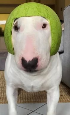 Does watermelon Walter go crazy let me know