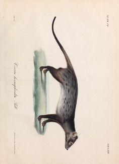Nova Acta Physico-Medica, Academiae Caesareae Leopoldino-Carolinae Naturae Curiosum, Vol. 17, 1835-36.