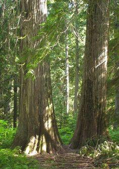 Ross Creek Ancient Cedars, Montana