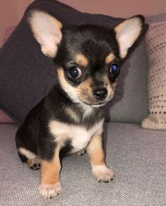 Chihuahua Pedigree Puppies For Sale *Ready Now* in Kuwait - KUWAIT DOGS AND PUPPIES FOR SALE