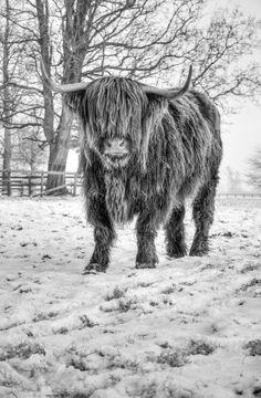 Highland Cattle 21 - Fine Art Photography - Highland Cow - Nature Photography - Highland Cattle 21 Fine Art Photography Highland by shortwork - Highland Cow Painting, Highland Cow Art, Highland Cattle, Scottish Highland Cow, Cow Pictures, Animal Pictures, Fine Art Photography, Nature Photography, Western Photography