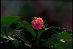 annimated opening flowers | Opening-Dahlia-Flower-Animated-Gif--Pink-Flower-from-pixieintrippyland ...