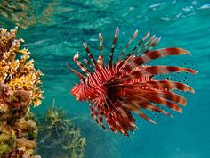 Pterios,commonly known as lionfish is a of venomous marine fish found in indo-pacific