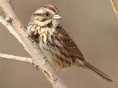 female song sparrow - Yahoo Image Search Results