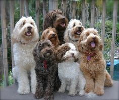 Labradoodle puppies for sale! Lancaster Puppies has your Labradoodle puppy. Discover Australian Labradoodles via reputable breeders. Get one today! Chien Goldendoodle, Goldendoodles, Labradoodles, Cavapoo, Goldendoodle Grooming, Dog Grooming, Puppies For Sale, Dogs And Puppies, Doggies