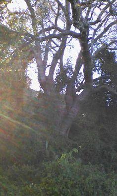 Centenario y ancestral olivastro o acebuche del bosque original. La Algaida-Lis Toruños
