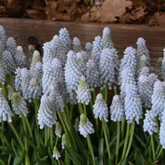 Muscari 'Babies Breath' (Grape Hyacinth) - pale, icy blue clusters of jewel-like beads that open from lime-green buds Pansies, Daffodils, Solomons Seal, Flower Names, String Of Pearls, Garden Features, Blue Flowers, Floral Arrangements, Lily Of The Valley