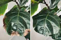 Before and after of trimming a Fiddle Leaf Fig. Fig Plant Indoor, Indoor Plants, Fiddle Leaf Fig Tree, Fiddle Fig, Ficus, Fig Leaves, Plant Leaves, House Plant Care, House Plants