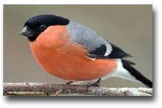De goudvink is over verschillende werelddelen verspreind en verdeeeld onder verschillende rassen, en dat van Europa tot ver in Azie. De grootte van deze vogel is ongeveer 14 tot 17 centimeter. Tussen het mannetje en het vrouwtje kun je het verschil goed zien, het mannetje heeft een roodrozeachtige borst en de vrouwtjes zijn bescheindener van kleur.