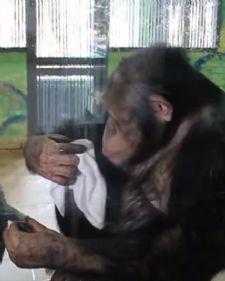 Iako ne niko ne bi mogao da poveruje, da su majmuni sposobni za pomaganje u kućnim poslovima, ova šimpanza ubediće vas u nešto potpuno suprotno.