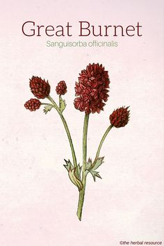 Information on the Side Effects and Benefits of Great Burnet (Sanguisorba officinalis) and Its Modern and Traditional Uses as a Medicinal Herb >>> Learn more by visiting the image link. Herbal Plants, Medicinal Plants, Healing Herbs, Natural Healing, Natural Medicine, Herbal Medicine, Herbs For Health, Herbal Remedies, Health And Fitness