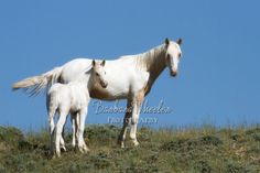 Wyoming Wild Horses M142627  A mare and her look alike foal (Wyoming)  Available in prints, cards and canvases. Mugs are available in my Facebook store:http:store.barbarawheelerphotography.com.   Check out the wild horse galleries by state. We have hundreds of photos of mustangs from all over the US - over 60 herds.  http://barbarawheelerphotography.com/wildhorses