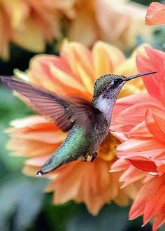 Another reason to grow dahlias! Hummingbird by Elizabeth Ann Pretty Birds, Love Birds, Beautiful Birds, Animals Beautiful, Cute Animals, Exotic Birds, Colorful Birds, Images Colibri, Hummingbird Pictures