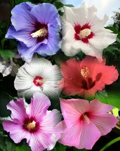 Rose of Sharon 10 Seeds - Hibiscus syriacus - Althea