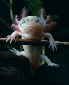 This adorable little guy is an axolotl! Sometimes known as a Mexican salamander, it is a type of salamander that actually never matures to t...