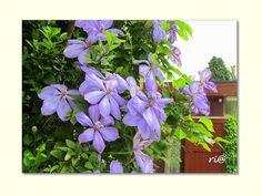 NATUUR mijn PASSIE - NATURE and POETRY: Was het maar een Blauwe regen....
