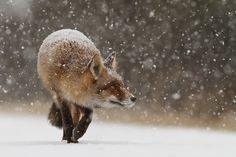 Fox's first snow  (by Roselien Raimond)