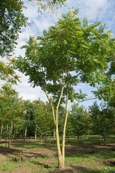 Ailanthus altissima Albizia Julibrissin, Patio Trees, Garden Trees, Tree Identification, Botanical Drawings, Tropical Garden, Patio Design, Christmas Tree Ornaments, Shrubs