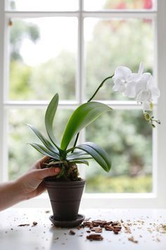 to Repot an Orchid Step by Step (Without Killing It) Be careful not to break any of the roots when removing the orchid from its current pot.Be careful not to break any of the roots when removing the orchid from its current pot. Orchids Garden, Orchid Plants, Garden Plants, Indoor Plants, Orchid Repotting, Indoor Orchids, The Orchid, How To Plant Orchids, Transplanting Orchids