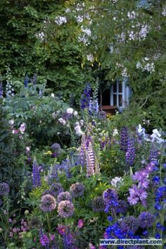 Beautiful border including: Anchusa azurea 'Loddon Royalist', Delphinium 'Clifford Sky', Lupine russell 'The Governor', Cistus pulverulentus! My dream garden!