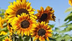 How to grow sunflowers, care for them, and harvest their delicious, nutritious seeds! This all-in-one guide will ensure your garden is sunflowerrific!