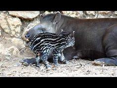 Baby Tapir!