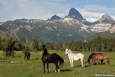 Horse Pasture | Horses in pasture with the Grand Tetons in the background, Driggs ...