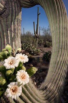 Saguaro Flowers, Tucson Arizona