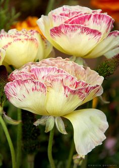 Pink and Yellow Ranunculus
