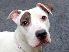 TO BE DESTROYED MONDAY- 03/31/14 Manhattan Center   PHOENIX - A0994608   FEMALE, WHITE / BR BRINDLE, PIT BULL MIX, 1 yr STRAY - STRAY WAIT, NO HOLD Reason STRAY  Intake condition INJ MINOR Intake Date 03/22/2014, From NY 10457, DueOut Date 03/25/2014,  https://www.facebook.com/photo.php?fbid=777377122275169&set=a.617942388218644.1073741870.152876678058553&type=3&theater
