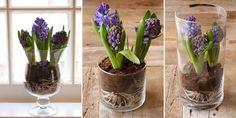 Пересадить гиацинт в вазу Aqua, Spring, Flowers, Plants, Roses, Water, Pink, Florals, Rose