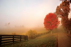 Crackling Red Maple- In Kentucky's Bluegrass region, a red maple crackles with flame as it catches the sun's first rays, while, in the distance, silhouettes of trees appear through the fog.