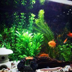 【kazukazu73】さんのInstagramをピンしています。 《ライトつけたよ。いい感じ。 #金魚#ドジョウ#水槽#アクアリウム#GEX#アナカリス#ダイソーの水草#LED》