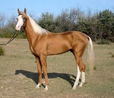 Akhal-Teke: The Golden Horses of Turkmenistan. Cute Horses, Horses For Sale, Horse Love, Most Beautiful Horses, All The Pretty Horses, Animals Beautiful, Beautiful Creatures, Palomino, Akhal Teke Horses