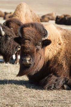 The Big Boys Take a Break - American Bison  (Bos bison) in Badlands NP, S. Dakota - | Show Me Nature Photography