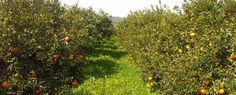 Le arance bio di tenutabiogambino