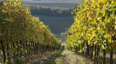 Vineyards near Terricciola, Tuscany #tuscanvineyards