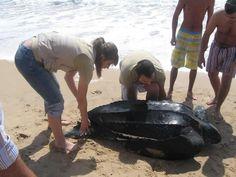 Miles de huevos y crías de tortugas gigante destrozados en Trinidad