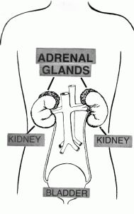 How to protect your Adrenal Gland - Healthy Body Guru