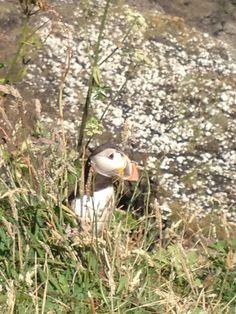 Puffins at Staffa. Birds, Happy, Cute, Animals, Animales, Animaux, Bird, Kawaii, Ser Feliz