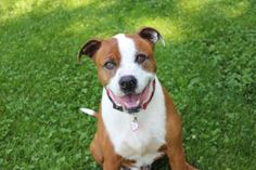Petango.com – Meet Cabbage, a 5 years Terrier, American Pit Bull / Boxer available for adoption in Hagerstown, MD